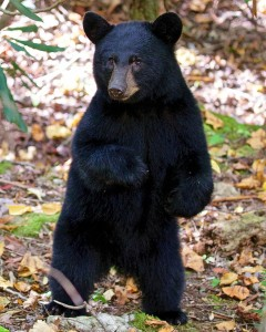 Black-Bear-In-The-Woods